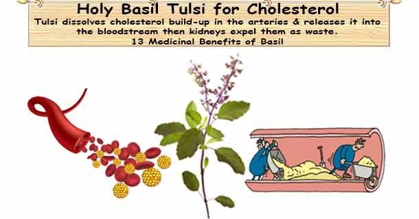 Holy Basil Cholesterol