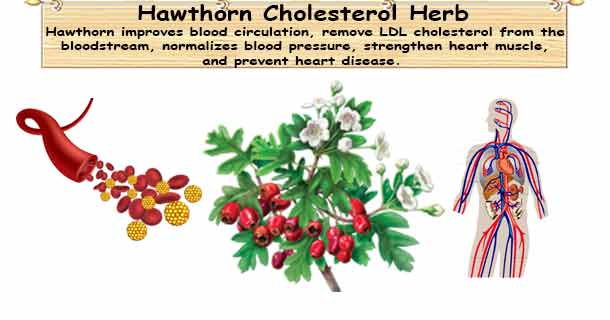 Hawthorn Lower Cholesterol