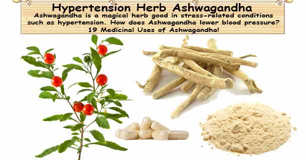 ashwagandha hypertension herb withania somnifera
