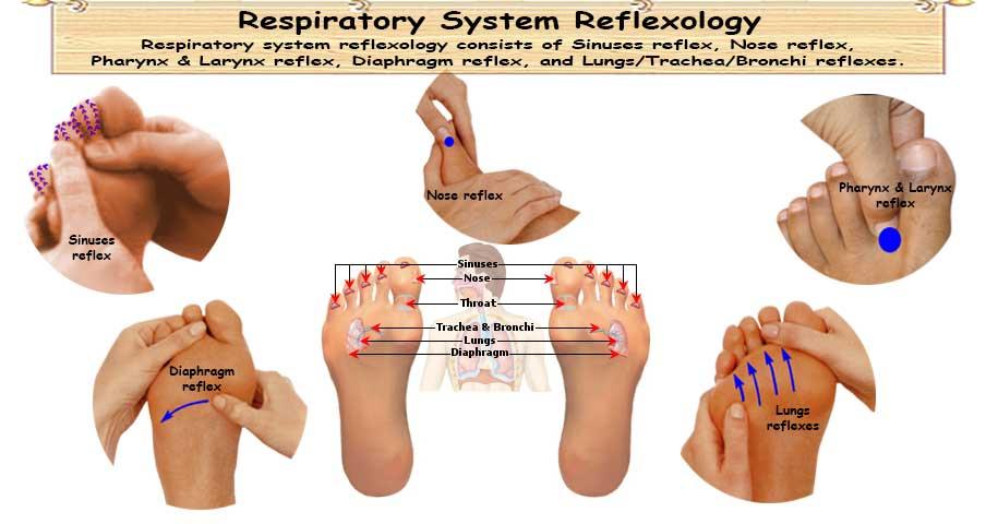 Reflexology Respiratory System 5 Vital Reflexes For Respiratory System
